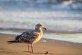 Western Gull Larus occidentalis Royalty Free Stock Photo