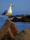 Western gull point pinos monterey peninsula Stock Photography