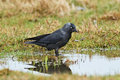 Western Jackdaw (Corvus monedula) Stock Photography
