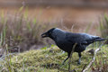 Western jackdaw holding food in its beak Royalty Free Stock Photo
