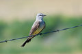 Western Kingbird Perched on Barbed Wire Royalty Free Stock Photo