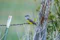 Western Kingbird Royalty Free Stock Photo