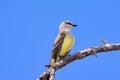 Western Kingbird Tyrannus verticalis Royalty Free Stock Photo