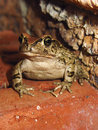Western Leopard Toad sitting upright Royalty Free Stock Photo
