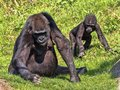 Western Lowland Gorilla, Gorilla g. gorila, teaches the young to collect food Royalty Free Stock Photo