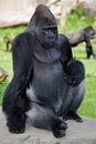 Western Lowland Gorilla (Gorilla gorilla gorilla). Royalty Free Stock Photography