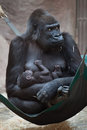 Western lowland gorilla gorilla gorilla gorilla with baby its two week old wildlife animal Royalty Free Stock Photography