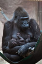 Western lowland gorilla gorilla gorilla gorilla with its two w week old baby wildlife animal Stock Image
