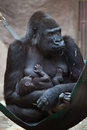 Western lowland gorilla gorilla gorilla gorilla with its two w week old baby wildlife animal Royalty Free Stock Photo