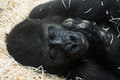 Western lowland gorilla gorilla gorilla gorilla sleeping Royalty Free Stock Photos