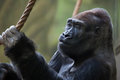 Western lowland gorilla gorilla gorilla gorilla wild life animal Royalty Free Stock Images