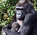 Western Lowland Gorilla Holding Her Newborn Baby Royalty Free Stock Photography