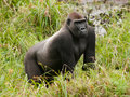 Western lowland gorilla in mbeli bai republic of congo nouabale ndoki national park Stock Photo