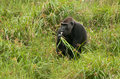 Western Lowland Gorilla in Mbeli bai, Republic of Congo Royalty Free Stock Photo