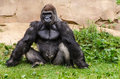 Western lowland gorilla the is one of two subspecies of the that lives in Royalty Free Stock Image