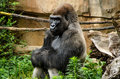 Western lowland gorilla the is one of two subspecies of the that lives in Royalty Free Stock Photo