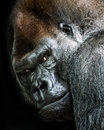 Western lowland gorilla portrait of Royalty Free Stock Photo