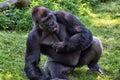 Western lowland gorilla portrait captive national zoo washington dc usa Royalty Free Stock Photos