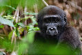 The western lowland gorilla portrait of a close up at a short distance republic of congo africa Stock Images