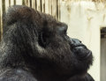 Western lowland gorilla portrait photo side view Stock Image
