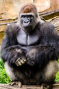Western lowland gorilla posing sitting the is one of two subspecies of the that lives in Royalty Free Stock Images
