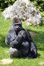 Western lowland gorilla sitting grass male in Royalty Free Stock Photo