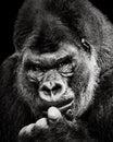 Western Lowland Gorilla X Royalty Free Stock Photo