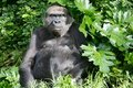 Western Lowland Gorillas Royalty Free Stock Images
