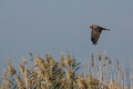 Western Marsh Harrier Stock Images