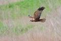 Western marsh harrier circus aeruginosus flies in their natural environment Stock Photo