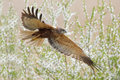 Western marsh harrier flying over blooming tree Royalty Free Stock Photo