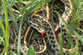 Western plains garter snake Royalty Free Stock Photography