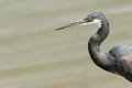 Western reef heron head and neck of a egretta gularis on a grey background Stock Images