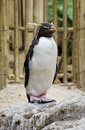 Western Rockhopper Penguin Royalty Free Stock Image