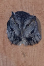 Western Screech-Owl Peering Out From Within a Nesting Box Royalty Free Stock Photo
