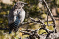 Western Scrub Jay (Aphelocoma californica) Royalty Free Stock Images