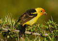 Western Tanager Stock Image