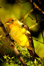 Western Tanager Royalty Free Stock Image