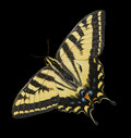 Western tiger swallowtail butterfly isolated black the papilio rutulus is multicolored with yellow gold orange and blue this has Royalty Free Stock Photography