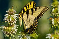 Western tiger swallowtail butterfly photographed against a green background in the texas hill country Stock Photography