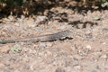 Western whiptail in the desert Stock Image