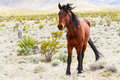 Western wild horse in spring mountains nevada Royalty Free Stock Photos