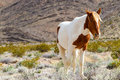 Western wild horse in spring mountains nevada Stock Photography