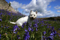 Westie In Bluebells