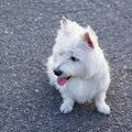 Westie dog Stock Images