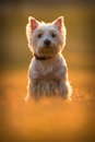 Westie dog on the meadow Stock Photos