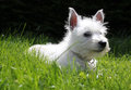 Westie puppy laying on grass Stock Photos