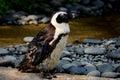 Wet African Or Jackass Penguin...