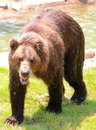 Wet american brown bear at the memphis zoo a dripping after a swim in water Stock Photos