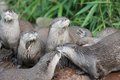 Wet asian small clawed otters group of Royalty Free Stock Photos